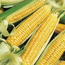 jagung super besar